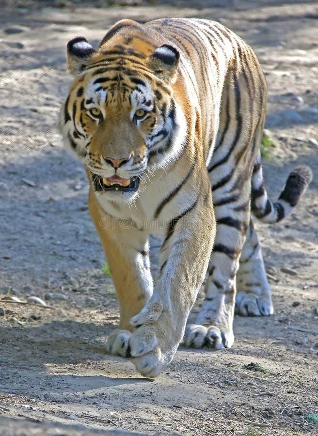 Free Siberian Tiger 2 Stock Photography - 10805742