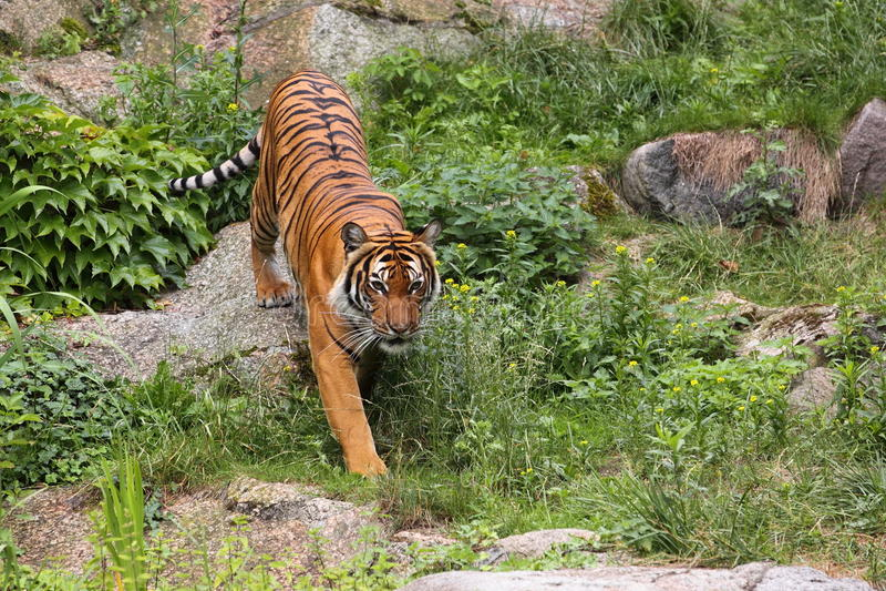 Siberian tiger. The siberian tiger among the rocks stock image