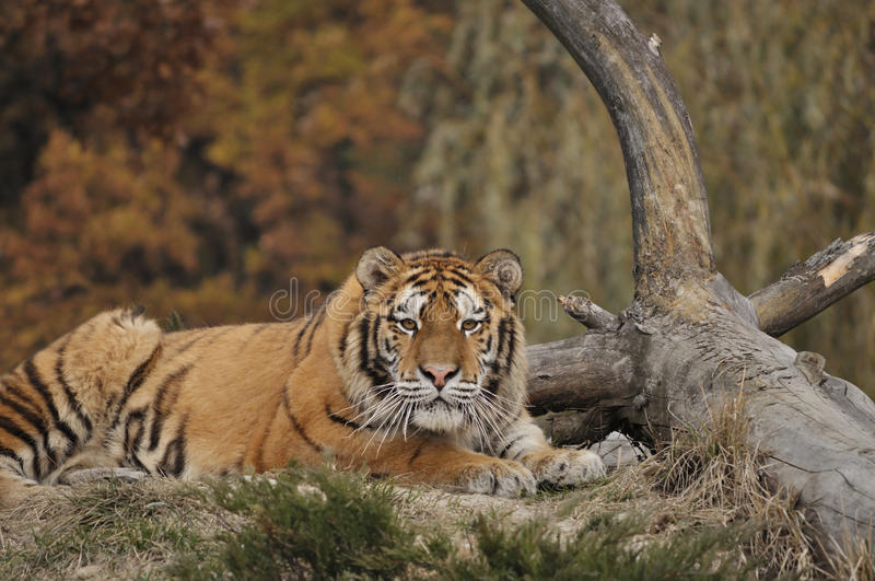 Siberian tiger. Laying near a tree trunk stock photography
