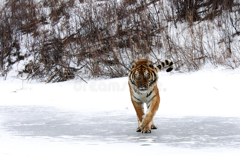 Download Siberian Tiger stock image. Image of winter, prowling - 26146003