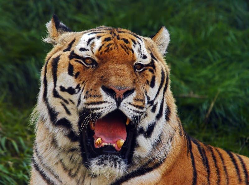 Siberian tiger. Shot of the Siberian tiger royalty free stock photo