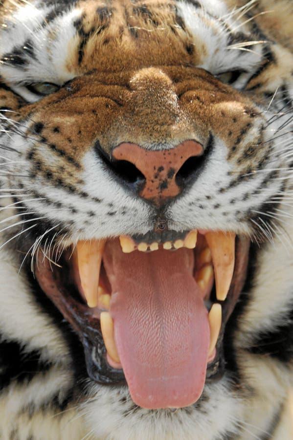 siberian tiger arkivbild