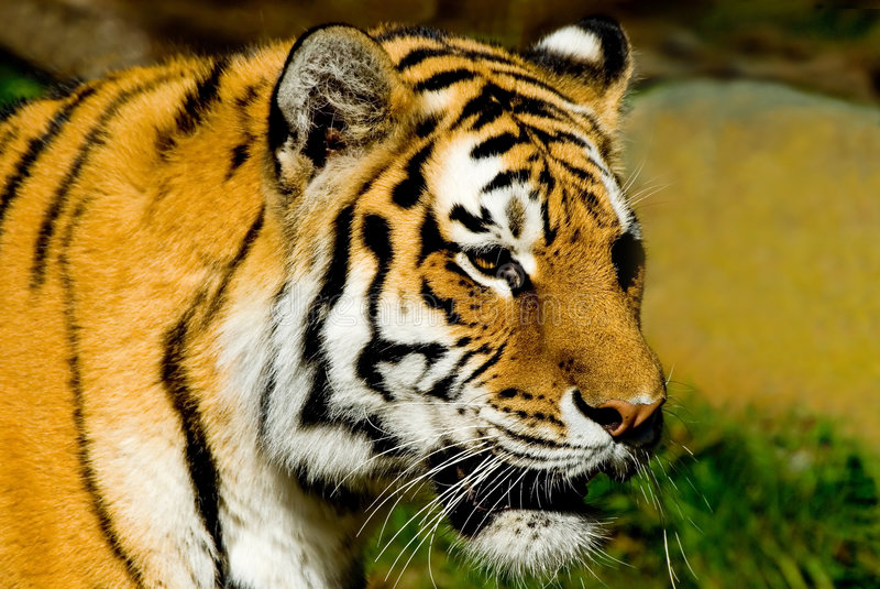 Siberian Tiger. Majestic looking Siberian Tiger at the San Francisco zoo stock photography
