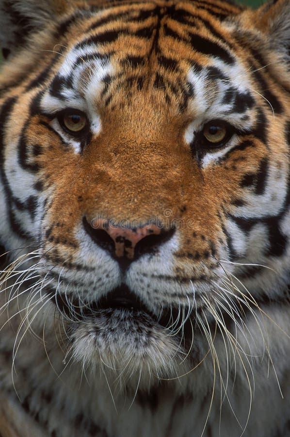 Siberian Tiger. (Panthera tigris altaica stock photography