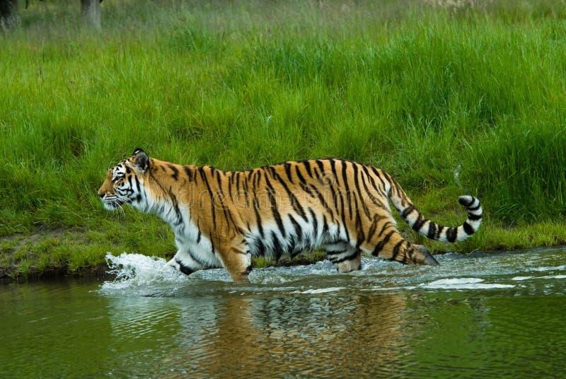 Siberian tiger. (Tiger Panthera tigris altaica) in water royalty free stock photo