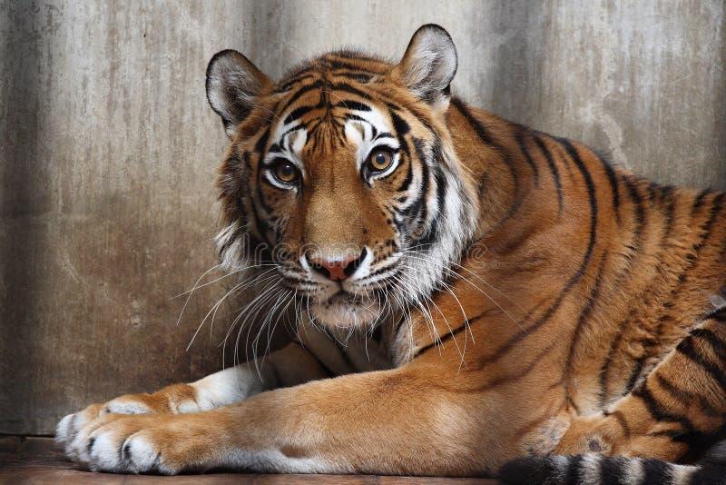Siberian Tiger. Panthera P. tigris stock image