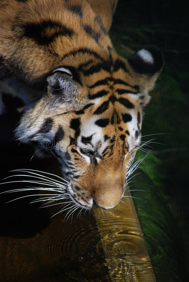 Siberian Tiger. Drinking clear water. A perfect drink for a perfect animal stock photos