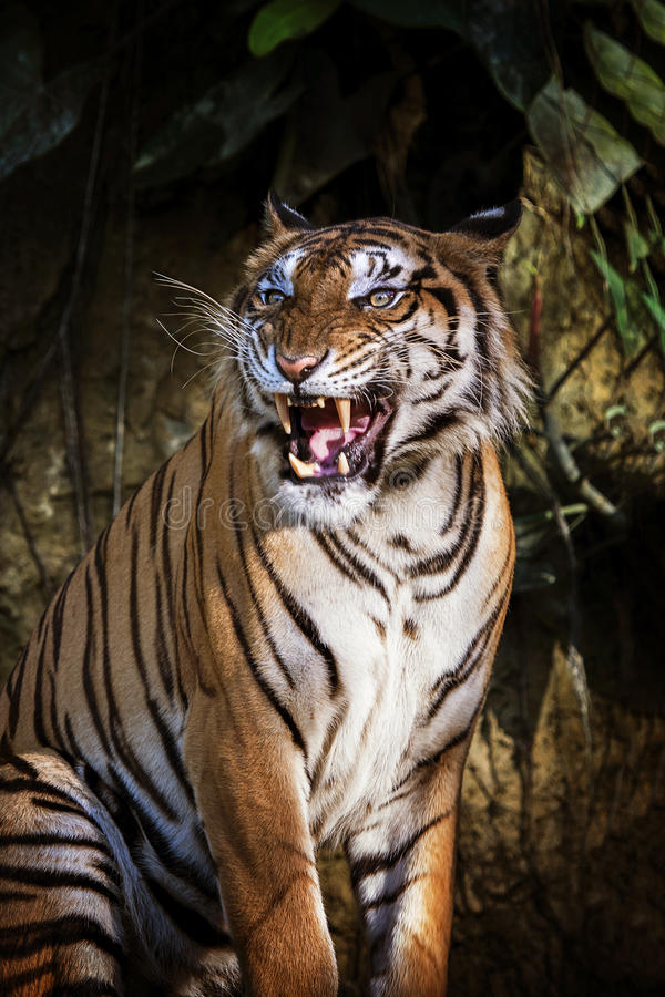 Siberian tiger in action of growl royalty free stock photos