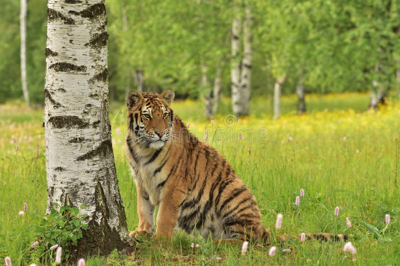 The Siberian tiger Amur tiger - Panthera tigris altaica. In his natural environment in beautiful country in the meadow royalty free stock photography