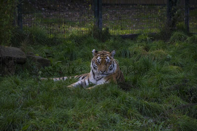 Siberian tiger or Amur tiger Panthera tigris altaica. Sitting in the grass stock image