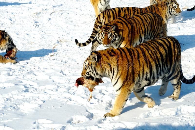 Siberian Tiger. Caught a chicken stock image