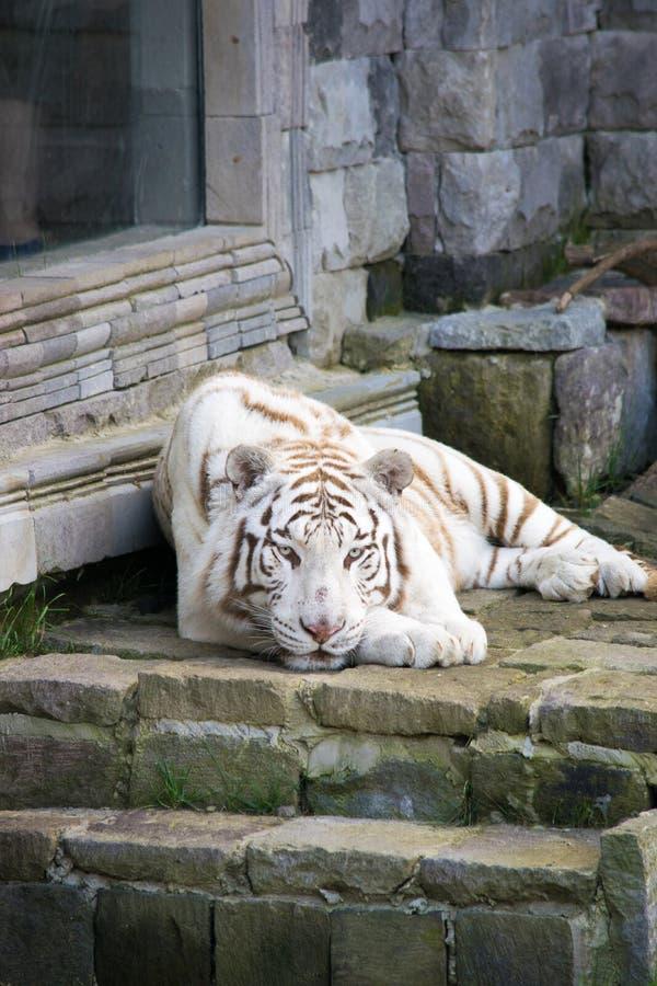 Siberian tiger royalty free stock image