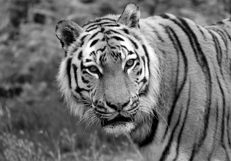 Siberian tiger close up stock image