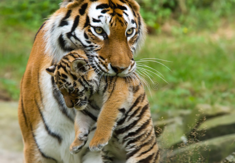 Siberian tiger with cub. Siberian tiger (Tiger Panthera tigris altaica) with a baby between her teeth royalty free stock images