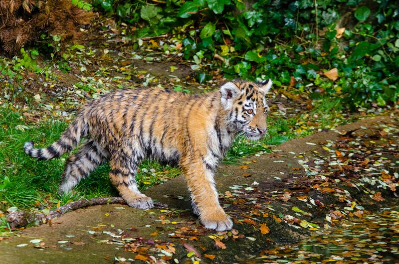 Siberian Tiger Cub imagem de stock