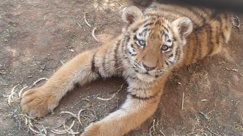 Siberian Tiger Cub. Born at Johannesburg Zoo royalty free stock images
