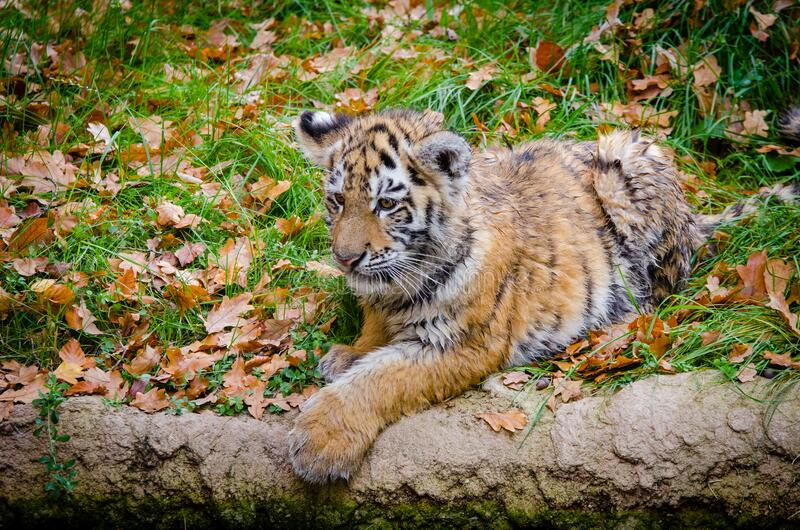 Siberian Tiger Cub royalty free stock image
