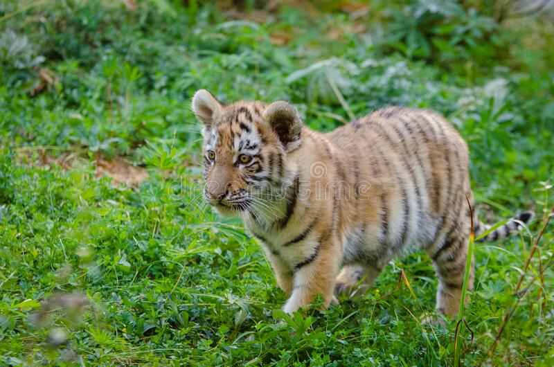 Siberian Tiger Cub stock images