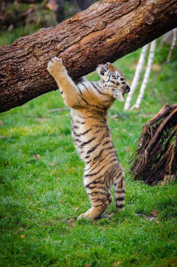 Siberian Tiger Cub royalty free stock photos