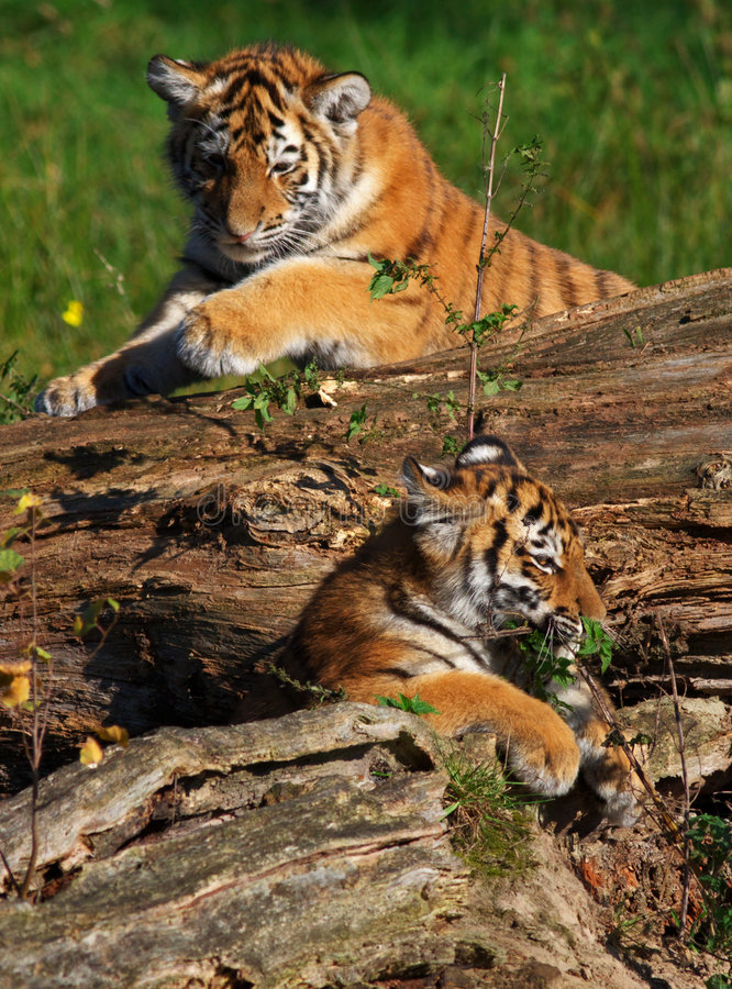 Siberian tiger cubs. Two in a tree playing Siberian tiger cubs stock photos