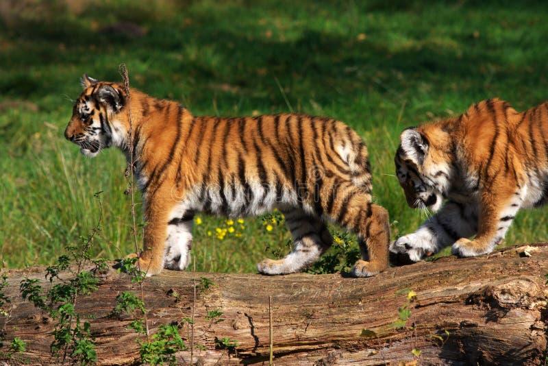 Siberian tiger cubs royalty free stock photos