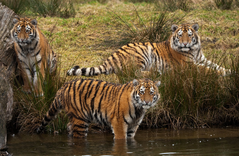 Siberian Tiger cubs. Three cute Siberian tiger cubs looking at something in the water (Panthera tigris altaica stock photography