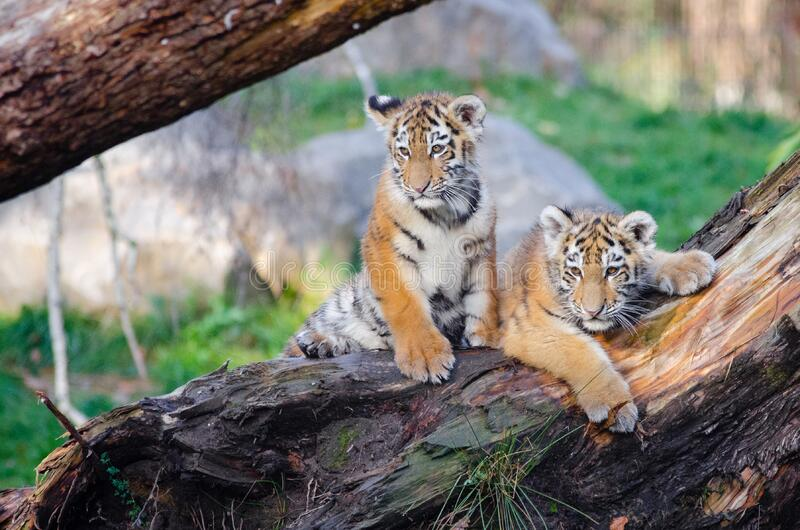 Siberian Tiger Cubs stock image