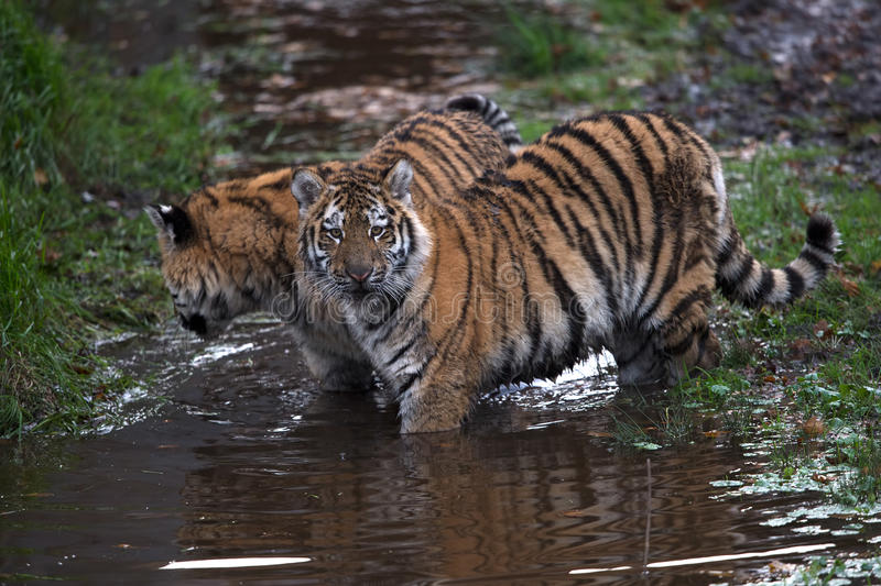 Siberian Tiger Cubs (Panthera Tigris Altaica). Siberian Tiger Cubs playing in muddy water royalty free stock image