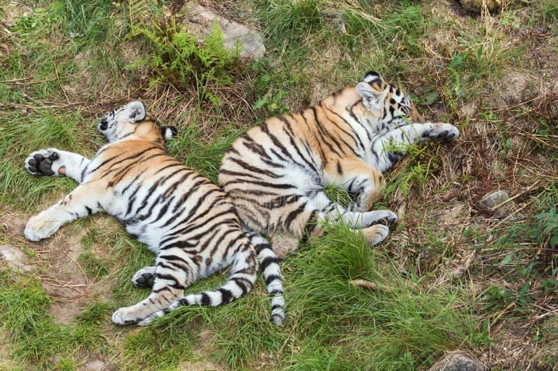 Siberian tiger cubs sleeping in the grass. Back to back stock photo