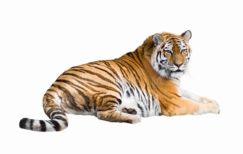 Siberian tiger cutout royalty free stock photos