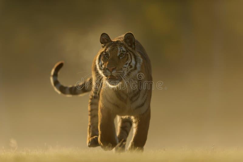Siberian tiger från främre sida Closeup till den djura jägaren för dangeours Siberian tiger, Pantheratigris altaica royaltyfria bilder