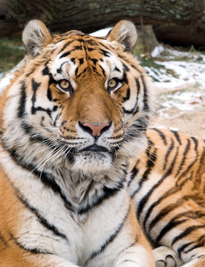 Siberian tiger head portrait. Face closeup of Siberian tiger head portrait stock photography