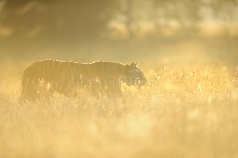 Siberian tiger i gult gräs på morgonsoluppgång fotografering för bildbyråer