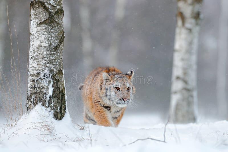 Siberian tiger i snönedgång Amur tigerspring i snön Tiger i lös vinternatur Handlingdjurlivplats med faradjuret royaltyfria foton