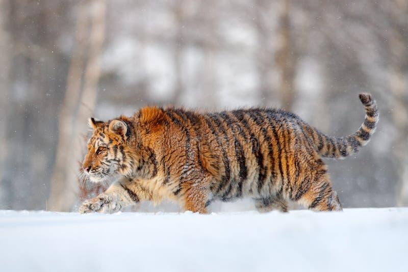 Siberian tiger i snönedgång Amur tigerspring i snön Tiger i lös vinternatur Handlingdjurlivplats med faradjuret royaltyfri foto