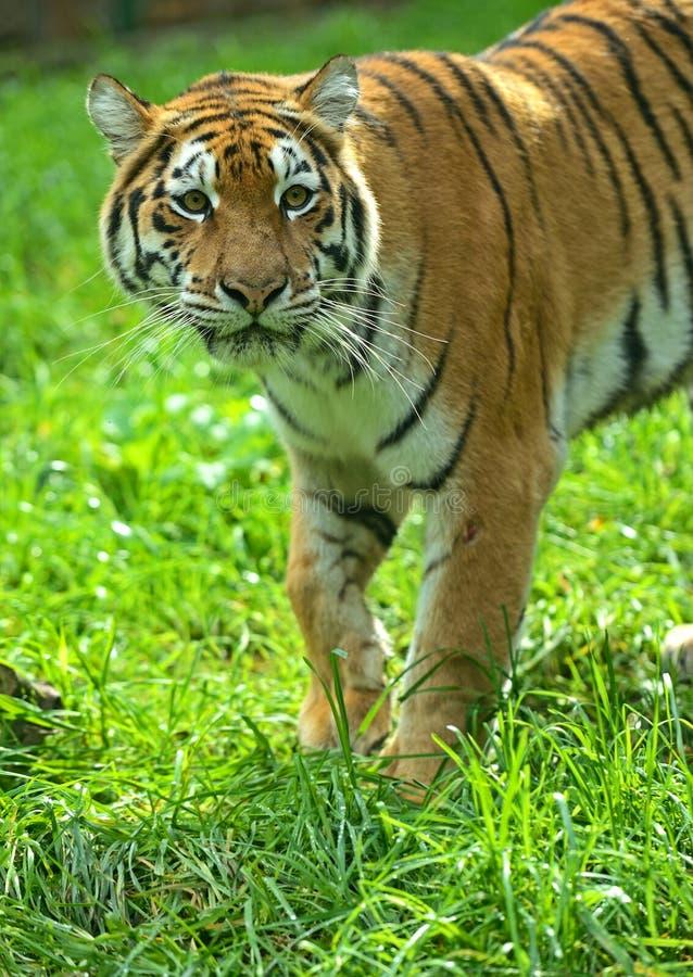 Download Siberian tiger stock photo. Image of trees, amur, habitat - 32188752