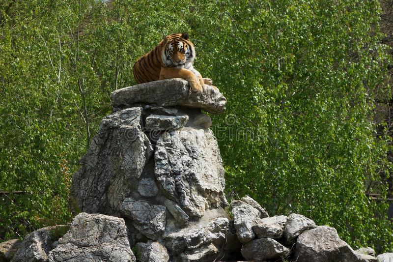 Siberian Tiger laying on a big stone heap. Summer day stock image