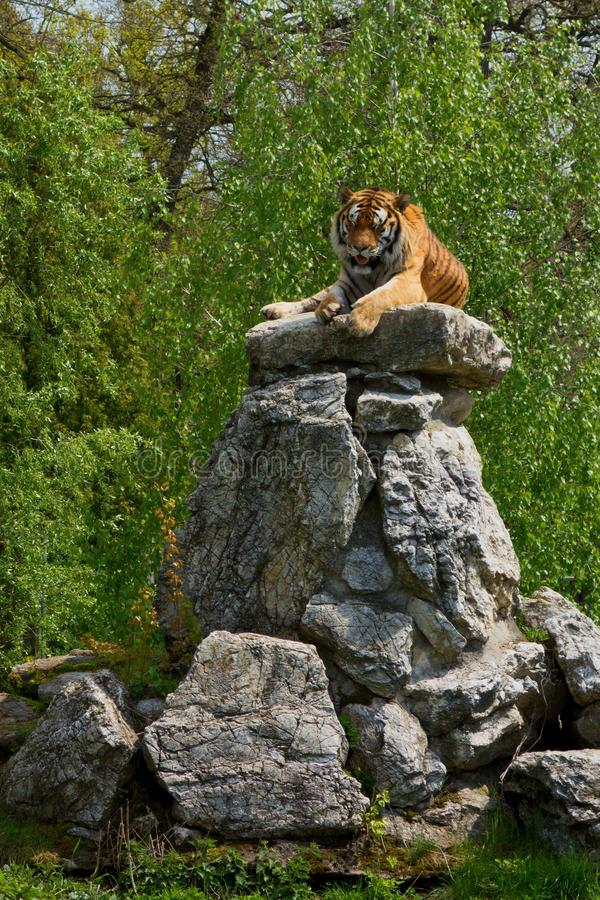Siberian Tiger laying on a big stone heap. Summer day royalty free stock images