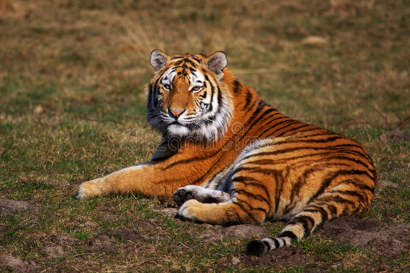Siberian Tiger laying in the grass stock photos