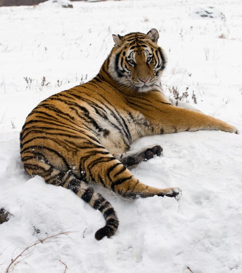 Siberian Tiger Lounging On A rock. A siberian tiger lounging on a rock in the winter snow of Harbin, China royalty free stock photo