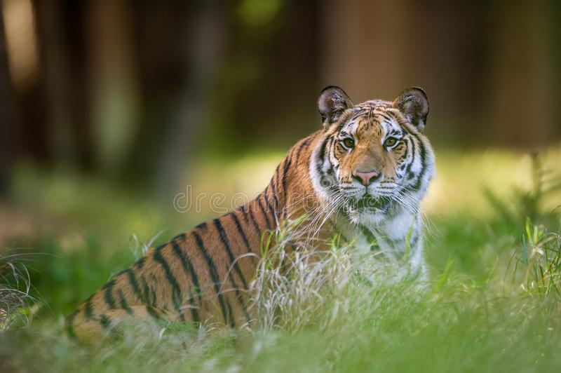 Siberian tiger lying in the grass in summer forest. Beast of preoccupation with the surroundings. Siberian tiger lying in the grass in summer forest. Panthera stock photo