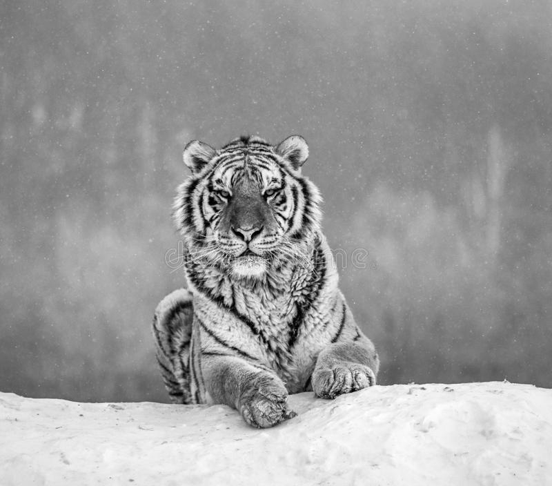 Siberian tiger lying on a snow-covered hill. Portrait against the winter forest. Black and white. China. Harbin. Mudanjiang province. Hengdaohezi park stock images