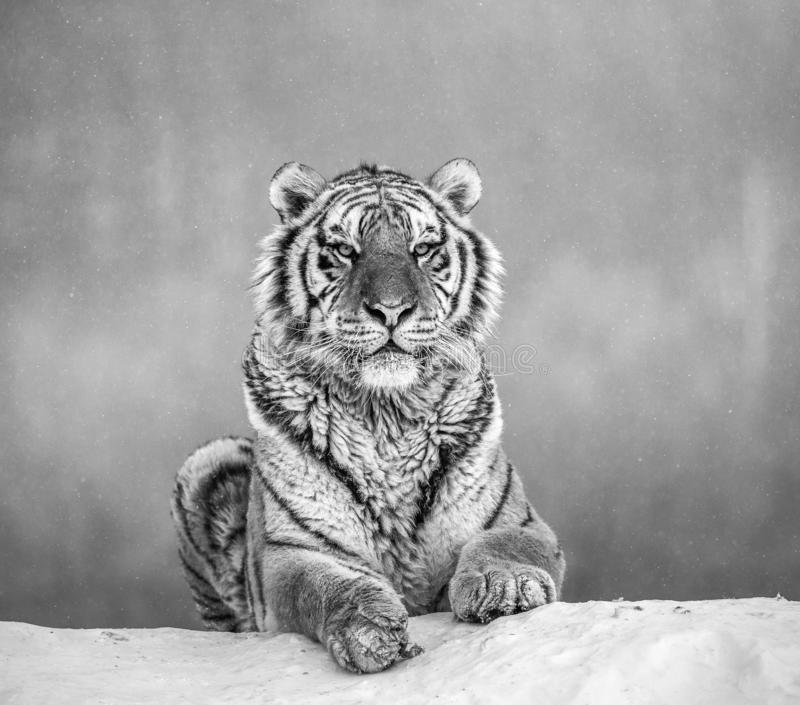 Siberian tiger lying on a snow-covered hill. Portrait against the winter forest. Black and white. China. Harbin. Mudanjiang province. Hengdaohezi park royalty free stock photography