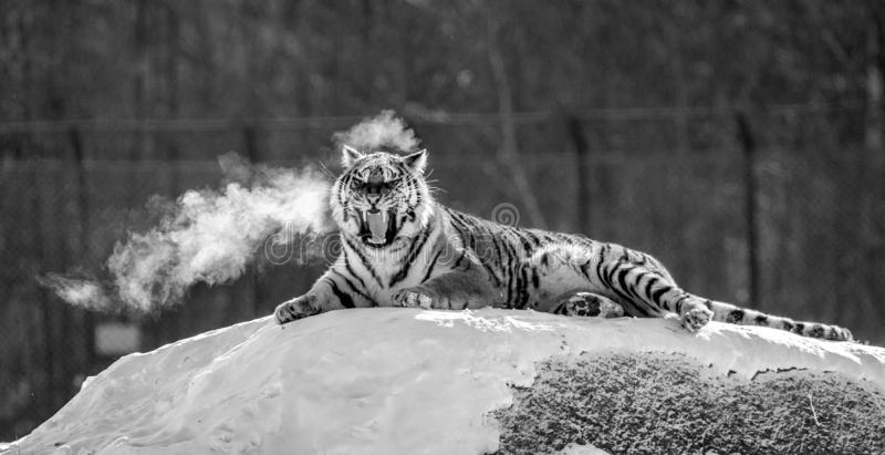 Siberian tiger lying on a snow-covered hill. Portrait against the winter forest. Black and white. China. Harbin. Mudanjiang province. Hengdaohezi park royalty free stock images