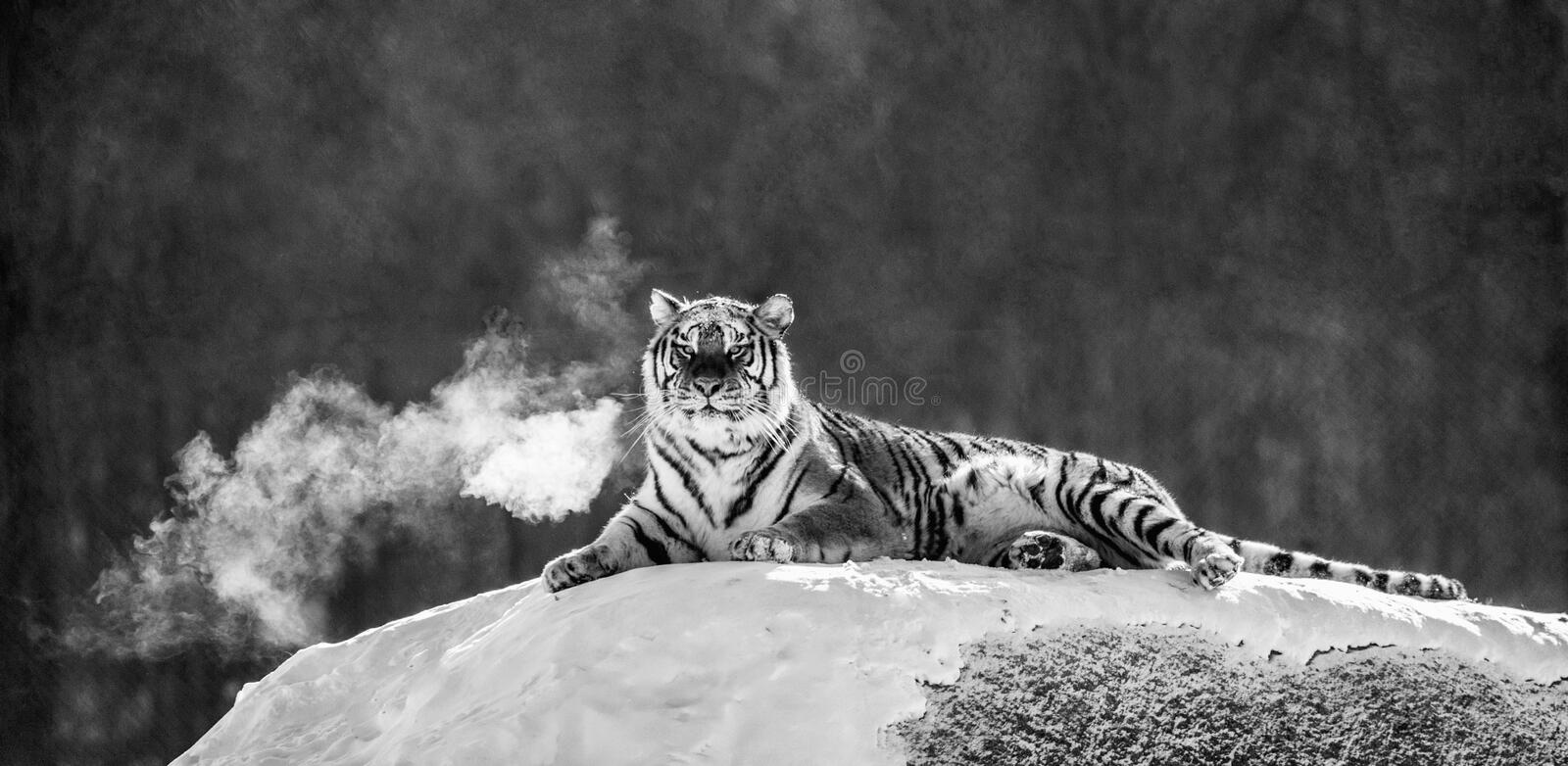 Siberian tiger lying on a snow-covered hill. Portrait against the winter forest. Black and white. China. Harbin. Mudanjiang province. Hengdaohezi park stock photography