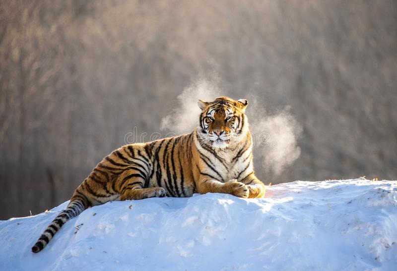 Siberian tiger lying on a snow-covered hill. Portrait against the winter forest. China. Harbin. Mudanjiang province. Hengdaohezi park. Siberian Tiger Park stock photo