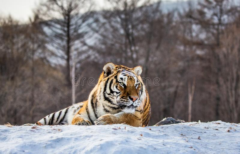 Siberian tiger lying on a snow-covered hill. Portrait against the winter forest. China. Harbin. Mudanjiang province. Hengdaohezi park. Siberian Tiger Park royalty free stock photos