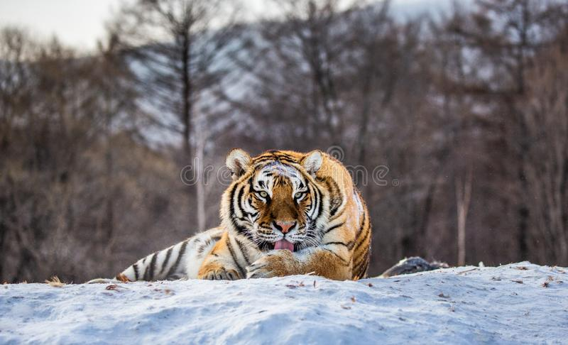 Siberian tiger lying on a snow-covered hill. Portrait against the winter forest. China. Harbin. Mudanjiang province. Hengdaohezi park. Siberian Tiger Park stock photography