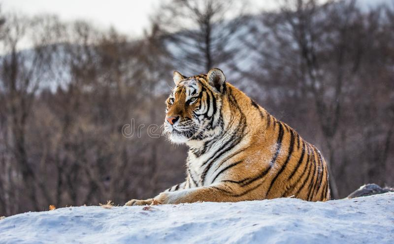 Siberian tiger lying on a snow-covered hill. Portrait against the winter forest. China. Harbin. Mudanjiang province. Hengdaohezi park. Siberian Tiger Park royalty free stock photography