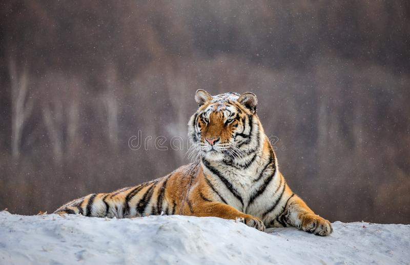Siberian tiger lying on a snow-covered hill. Portrait against the winter forest. China. Harbin. Mudanjiang province. Hengdaohezi park. Siberian Tiger Park stock photos